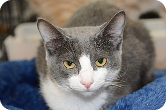 Domestic Shorthair Cat for adoption in Harrisburg, North Carolina - Nibbles