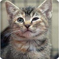 Domestic Shorthair Cat for adoption in Fairfax Station, Virginia - Duckie