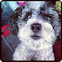 Adopt A Pet :: Snoopy - North Hollywood, CA
