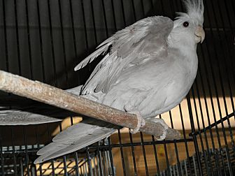 Cockatiel for adoption in Neenah, Wisconsin - Sidney