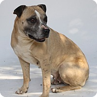 American Staffordshire Terrier/Pit Bull Terrier Mix Dog for adoption in Los Angeles, California - Sierra