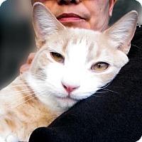 Adopt A Pet :: Nayla Gorgeous Orange Teen Kitten - Brooklyn, NY