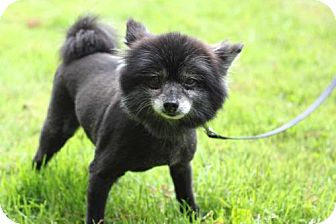 Pomeranian Dog for adoption in Salem, New Hampshire - LEXI