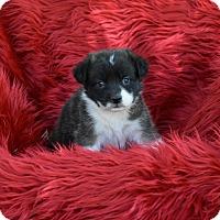 Adopt A Pet :: Shani - Groton, MA