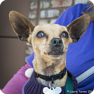 Chihuahua Dog for adoption in San Marcos, California - Sassy