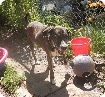 Labrador Retriever Mix Dog for adoption in House Springs, Missouri - Otis