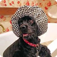 Adopt A Pet :: Zuzu - Sugarland, TX