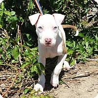 Adopt A Pet :: Delightful LITTLE Dickens ~ American Bully - Albuquerque, NM