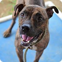 Adopt A Pet :: BRITNEE - Philadelphia, PA