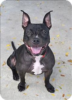American Pit Bull Terrier Mix Dog for adoption in Delaware, Ohio - Midnight