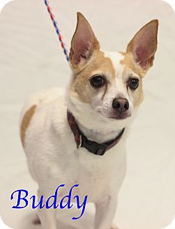 Chihuahua/Jack Russell Terrier Mix Dog for adoption in Bradenton, Florida - Buddy