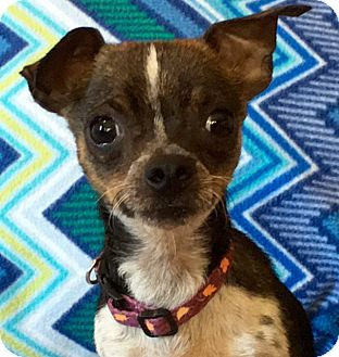 Chihuahua Mix Dog for adoption in Vacaville, California - Elvis