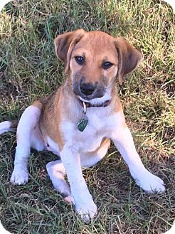 Shepherd (Unknown Type)/Collie Mix Puppy for adoption in Hagerstown, Maryland - Anne Marie