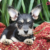 Yorkie, Yorkshire Terrier/Schnauzer (Miniature) Mix Puppy for adoption in Plainfield, Illinois - Orchid