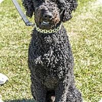 Poodle (Standard)/Labrador Retriever Mix Dog for adoption in Courtice, Ontario - Rogue