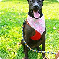 Adopt A Pet :: Freya - Castro Valley, CA