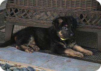 German Shepherd Dog Puppy for adoption in San Diego, California - Hunter