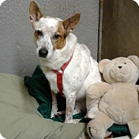Australian Cattle Dog Mix Dog for adoption in Bronx, New York - Shakira