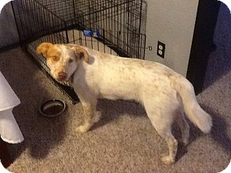 Australian Cattle Dog/Labrador Retriever Mix Dog for adoption in Broken Arrow, Oklahoma - Ren
