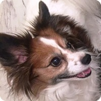 Adopt A Pet :: Asia (age 8) in GA - Marietta, GA