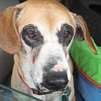 Hound (Unknown Type) Mix Dog for adoption in New York, New York - Susie Q