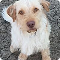 Adopt A Pet :: Buddy - McKinney, TX