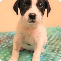 Adopt A Pet :: Davis - Southington, CT