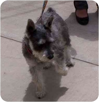 Schnauzer (Miniature) Dog for adoption in Los Alamitos, California - Schnoozer