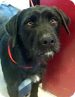 Labradoodle Mix Dog for adoption in Red Bluff, California - Chloe