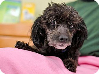 Poodle (Miniature) Dog for adoption in Howell, Michigan - Ebony