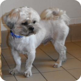 Shih Tzu Dog for adoption in Jackson, Michigan - Oliver