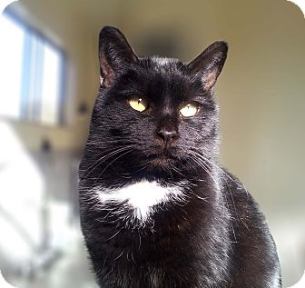 Domestic Shorthair Cat for adoption in Mountain Center, California - Tippurr