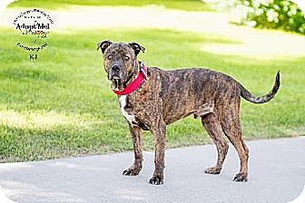 Boxer/Mastiff Mix Dog for adoption in Chandler, Arizona - KJ
