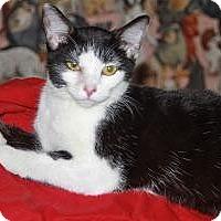 Adopt A Pet :: ATOMIC KITTEN - LEXINGTON, KY