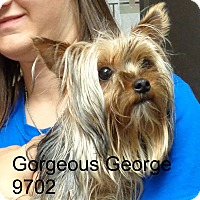 Adopt A Pet :: Gorgeous  George - baltimore, MD