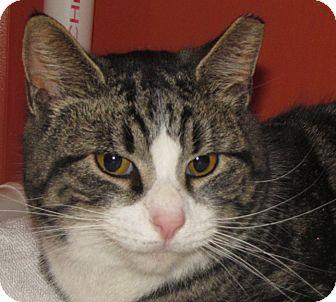 Domestic Shorthair Cat for adoption in Walden, New York - Arthur