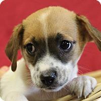 Adopt A Pet :: Phoebe - Waldorf, MD