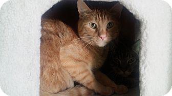 Domestic Shorthair Cat for adoption in Edmond, Oklahoma - Thai