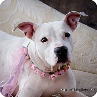 American Pit Bull Terrier Mix Dog for adoption in Boston, Massachusetts - SHELBY