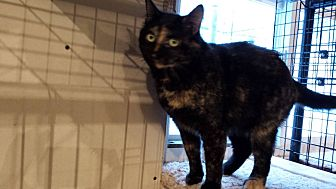 Domestic Shorthair Cat for adoption in Rochester, Minnesota - Confetti