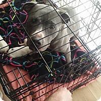 Adopt A Pet :: Chyna - Hopkinsville, KY