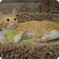 Domestic Shorthair Kitten for adoption in Plano, Texas - SUNKIST - SUNNY ORANGE BOY