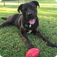 Mastiff Mix Dog for adoption in Olive Branch, Mississippi - BEAR