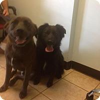 Adopt A Pet :: Lilie - Palatine/Kildeer/Buffalo Grove, IL