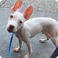 Adopt A Pet :: Bunny - Chico, CA