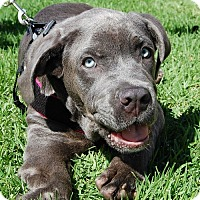 Neapolitan Mastiff Puppy for adoption in West Los Angeles, California - Daniel