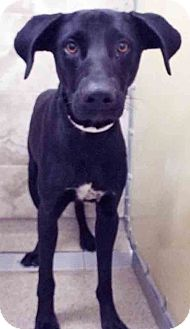 Labrador Retriever/Pointer Mix Dog for adoption in Plainfield, Illinois - Dallas