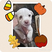 Terrier (Unknown Type, Small)/Chihuahua Mix Puppy for adoption in Media, Pennsylvania - Prince Charming