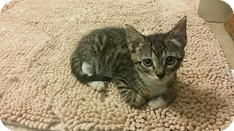Domestic Shorthair Kitten for adoption in Flower Mound, Texas - Leanne