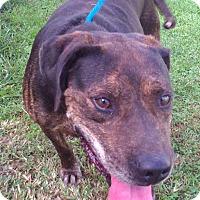 Labrador Retriever/Boxer Mix Dog for adoption in Metamora, Indiana - Sam